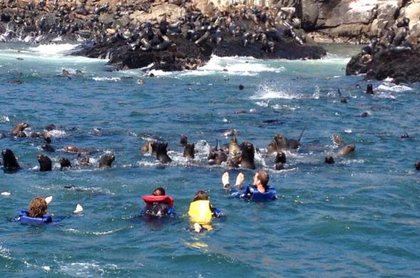 Nadando com os leões marinhos nas Ilhas Palomino, em Callao.